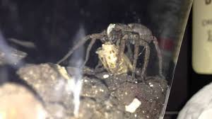 Close-up Of Wolf Spider Eating A Cricket. - YouTube Barn Spider Photography Nature Pinterest Update Spiders Still Dont Bite Arthropod Ecology Beneficial In The Landscape 49 Bana Nephila Tegenaria Domestica Wikipedia Grass Spiders At Spiderzrule Best Site World About Spiderlings Eat Mother Youtube Myths Burke Museum What Are Some Common Montana Animals Momme 7 Bug And Squashed National Geographic Society Blogs Neighbourhood Agriculture Food Molting