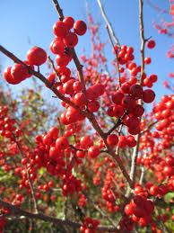 Winterberry Christmas Tree Farm by The Magnificent Ten Rotary Botanical Gardens