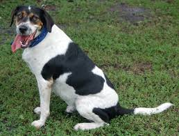 Do Treeing Walker Coonhounds Shed by Sammy The Treeing Walker Coonhound U0027s Web Page