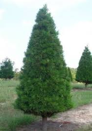 The Tree Is Small To Medium In Size And Its Foliage Becomes Extremely Dense Our Virginia Pine Will Have A Traditional Christmas Shape Can Hold
