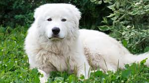 Guard Dogs That Dont Shed by Maremma Sheepdog Bondi Vet Tv Series Official Site