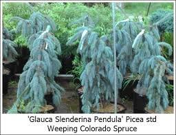 Picea Pungens Glauca Slenderina Pendula Weeping Colorado