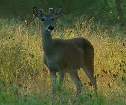do white tailed bucks shed their antlers