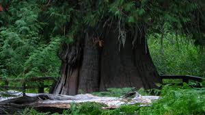 This Giant Cedar Tree In Idaho Is Older Than Most Countries