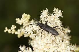 schwarze käfer wissenswertes über die insekten