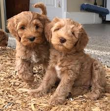 Cavapoos Do They Shed by Daisy Hill Australian Labradoodles Home Facebook