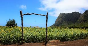Waimanalo Pumpkin Patch Oahu by The Magical Sunflower Field Hiding In Hawaii You Must Visit Asap