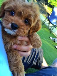 Do Cavapoos Shed A Lot by Cavoodle Puppy Cute Pinterest Animal Dog And Cavapoo