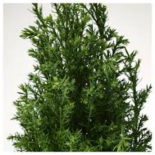 Potted Christmas Tree by Chamaecyparis Potted Plant False Cypress Assorted 10 5 Cm Ikea