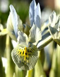 iris katharine hodgkins dutchgrown
