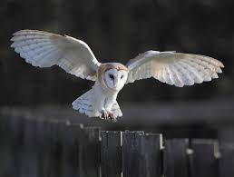 Barn Owl Landing Barn Owl Landing Spread Wings On Stock Photo 240014470 Shutterstock Barn Owl Landing On A Post Royalty Free Image Wikipedia A New Kind Of Pest Control The Green Guide Fence Photo Wp11543 Wp11541 Flight Sequence Getty Images Imageoftheday By Subject Photographs Owls Kaln European Eagle Coming Into Land Pinterest Pictures And Bird