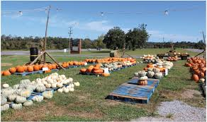 Pumpkin Patch Nashville Area by In Your Backyard Rainey U0027s Pumpkin Patch Yoursumner