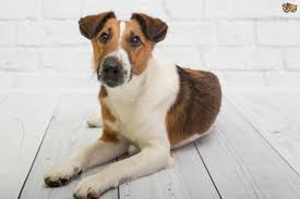 Stop Rat Terrier Shedding by Fox Terrier Dog Breed Information Buying Advice Photos And Facts