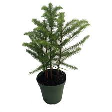 Plantable Christmas Trees For Sale by Amazon Com Norfolk Island Pine The Indoor Christmas Tree 4
