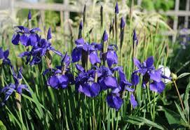 how to grow irises gardener s supply