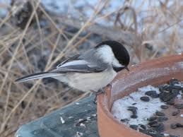 Feeding Birds In The Winter – Prairie Birder Wild Birds Unlimited Common Backyard Bird Nest Idenfication Sounds Articles Old Farmers Almanac Whibreasted Nuthatch Sitta Carolinensis Birds Certhioidea Best 25 Birds Ideas On Pinterest Pretty Blue A Brown Headed Cowbird At Thicksons Woods Debunk 12 Myths About Feeding Cute Rbreasted Nuthatch Winter Of Wisconsin Species Infographic Poster By Diana Sudyka The Worlds Photos And Sviceberry Flickr Hive Mind Grow These Native Plants So Your Can Feast Audubon What I Find In My Ontario Canada Youtube