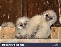 Elkton, Oregon, USA. 15th Apr, 2017. A Group Of Fluffy Barn Owl ... Chris Eastern Screech Owl Nest Box Cam For 2001 Three Cute Barn Owlets Getting Raised In Kodbakkam Chennai 077bojpg Needle Felted Owlet Baby Outdoor Alabama Escapes And Photography Owls Owlets At Charlecote Park Robin Loznak Barn Owls Oregon Overheated Chicks Rescued Hungry Project 132567 2568 2569 2570 The Wildlife Center Wallpaper Archives Trust Young Thrive On Harewood Estate House By Michael A Eccles