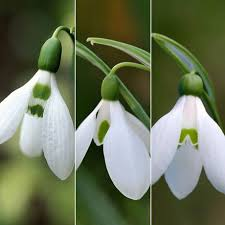 buy snowdrop bulbs delivery by waitrose garden in association