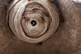 wasp getting rid of wasps nests