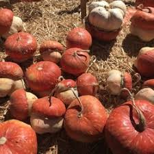 Apple Hill Pumpkin Patches Ca by Lavender Hill Pumpkins 79 Photos U0026 18 Reviews Pumpkin Patches