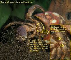 Do Hermit Crabs Shed Legs by Hermit Crab Gender By Godzillahermitcra On Deviantart Hermit
