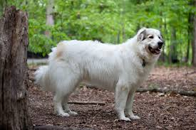 Dogs That Shed Hair by Great Pyrenees Wikipedia