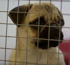 Do Pugs And Puggles Shed by Documentary Reveals The Shocking Cruelty Of Puppy Farms To Meet