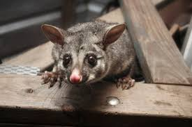 How To Get Rid Of Possums From A Roof? - YouTube All About Opossums Wildlife Rescue And Rehabilitation Easy Ways To Get Rid Of Possums Wikihow Animals Articles Gardening Know How 4 Deter From Your Garden Possum Hashtag On Twitter Removal Living In Sydney Opossum Removal Services South Florida Nebraska Rehab Inc Help Nuisance Repel Gel Barrier Sealant For Squirrels And Raccoons To Of Terminix