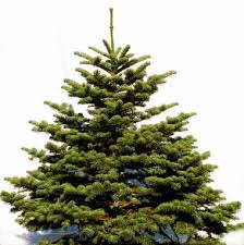 Our Vote Gives The Nod To Noble Firs As Favorite Christmas Tree Oregonian