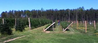 Frasier Christmas Tree Cutting by Virginia Tree Farms Virginia Is For Lovers