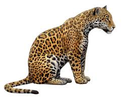 Amazing amateur videos of wild jaguars hunting
