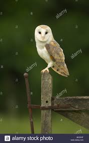 Barn Owl (Tyto Alba) Perched On An Old Gate At Dusk Stock Photo ... Standing Twelve Weekold Barn Owl Side View Stock Photo Getty Images Boxes South Downs National Park Authority Old Man Of Minsmere Aka John Richardson Gorgeous Birds In Folklore Owls And Ravens Randomdescent Orbit The 5 Weekold Baby Who Has Been Hand Ared By Owl Wikipedia Coda Falconry On Twitter Our 7 Week Old Barn Was Bred At Dont Go Deaf New Zealand Geographic Australian Masked Rescuing Owls Tropic Wonder Audubon Art Print Vintage Nature Bird Eyfs Blog Archive Wise