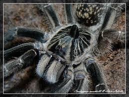Pumpkin Patch Tarantula Scientific Name by Tarantula Ceratogyrus Marshalli Care Sheet War Bringer U0027s Blog