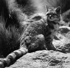 mountain cat wildcat conservation aid society ensuring a future