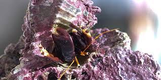 Halloween Hermit Crab Lifespan by Aquarium Invertebrates Hermit Crabs U2014 Advanced Aquarist