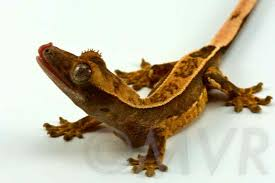 Crested Gecko Shedding Signs by Crested Gecko Moonvalleyreptiles Com Page 2
