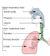 Where Does Seafloor Spreading Take Place by The Respiratory System Lesson 0393 Tqa Explorer
