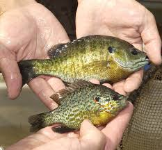 Pumpkin Seed Sunfish Pictures by Iowa Residents Enjoy Free Fishing Days June 2 4