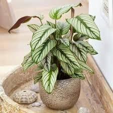 schefflera nora umbrella indoor houseplant 40 50cm