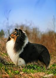 Sheltie Shedding Puppy Coat by Shetland Sheepdog Grooming Bathing And Care Espree Animal Products