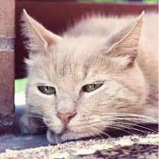 signs of worms in cats cat worms and parasites to look out for petcarerx