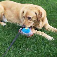 Chesapeake Bay Retriever Vs Lab Shedding by Goldador Dog Breed Information Pictures Characteristics U0026 Facts