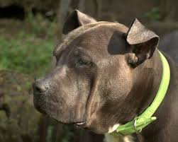 My Cane Corso Shedding A Lot by Is It So Necessary To Cut The Ears Of A Cane Corso