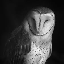 Barn Owl | Bird Light Wind Black Barn Owl Oc Eclipse By Pkhound On Deviantart Closeup Of A Stock Photo 513118776 Istock Birds Of The World Owls This Galapagos Barn Owl Lives With Its Mate A Shelf In The Started Black Paper Today Ref Paul Isolated On Night Stock Photo 296043887 Shutterstock Stu232 Flickr Bird 6961704 Moonlit Buttercups Moth Necklace Background Image 57132270 Sd Falconry Mod Eye Moody