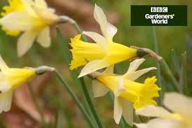 how to plant daffodils in borders gardenersworld