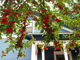 Cherry Tree | Wright On Top Garden Design With Backyard Trees Privacy Yard A Veggie Bed Chicken Coop And Fire Pit You Bet How To Illuminate Your With Landscape Lighting Hgtv Plant Fruit Tree In The Backyard Woodchip Youtube Privacy 10 Best Plants Grow Bob Vila 51 Front Landscaping Ideas Designs A Wonderful Dilemma Ramblings From Desert Plant Shade Digital Jokers Growing Bana Trees In Wearefound Home 25 Potted Ideas On Pinterest Indoor Lemon Tree