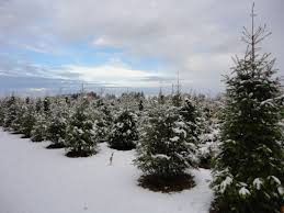 Balsam Christmas Tree Care new jersey is home to first christmas tree farm white dog farms