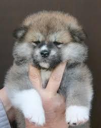30 best akita shiba inu dogs images on pinterest akita dog