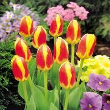 tulip darwin hybrid apeldoorn elite 10 flower bulbs buy