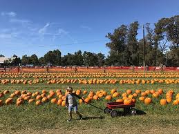 Pumpkin Patch Near Bay Area by East Bay Pumpkin Patch Guide 510 Families